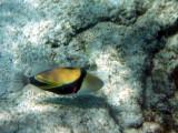 Humuhumu nukunuku a pua'a picaso triggerfish