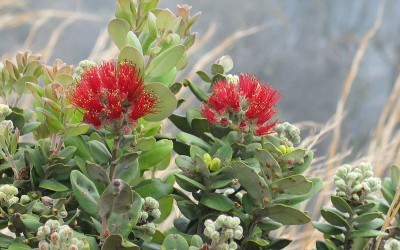 Ohia Tree with Lehua Flower
