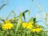 Hawaiian Yellow Daisy
