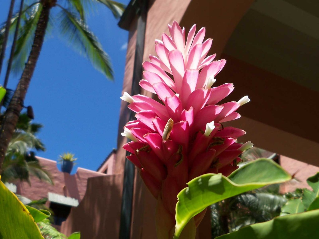 Pink Ginger Blossom Hawaii Pictures