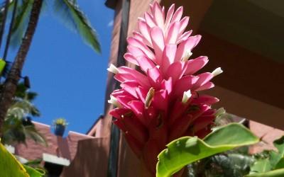 Pink Ginger Blossom
