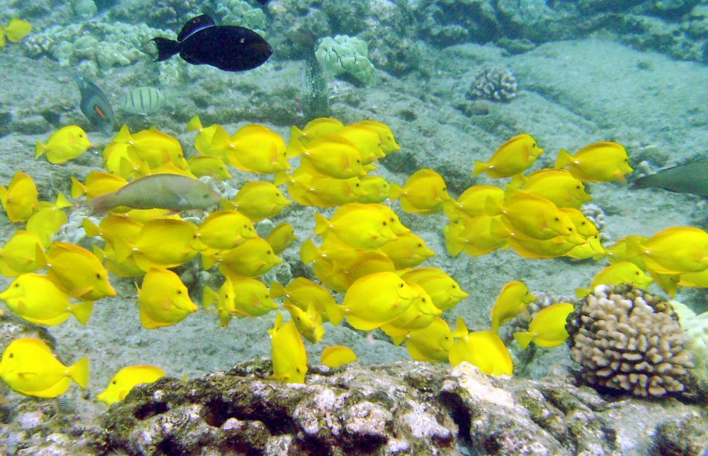 Yellow Tangs And Others