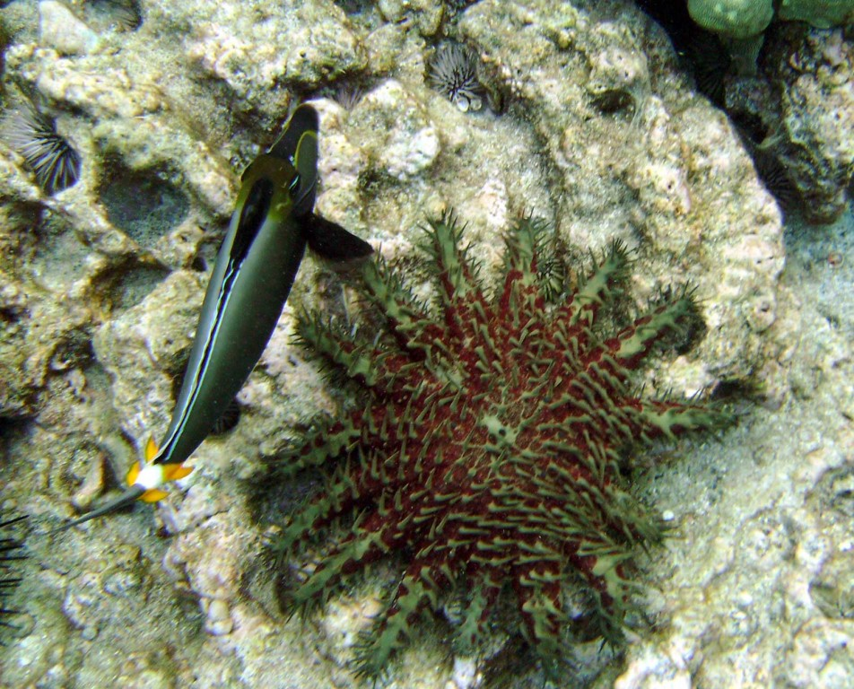 Crown of thorns and orangespine unicornfish