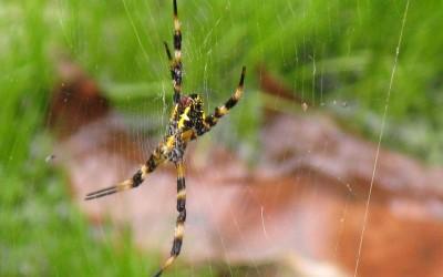 Hawaii Garden Spider, Argiope appensa
