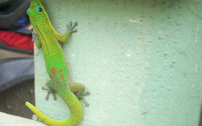 Hawaiian Orange-Spotted Day Gecko