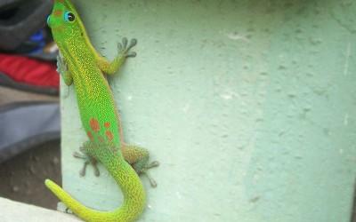 Hawaiian Orange-Spotted Day Gecko