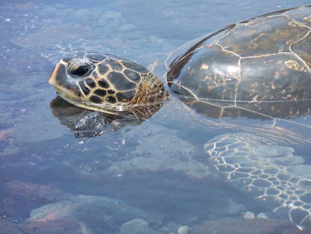 Hawaiian Green Sea Turtle Peek