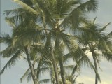 King Palm Trees