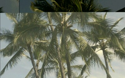 King Palm Trees