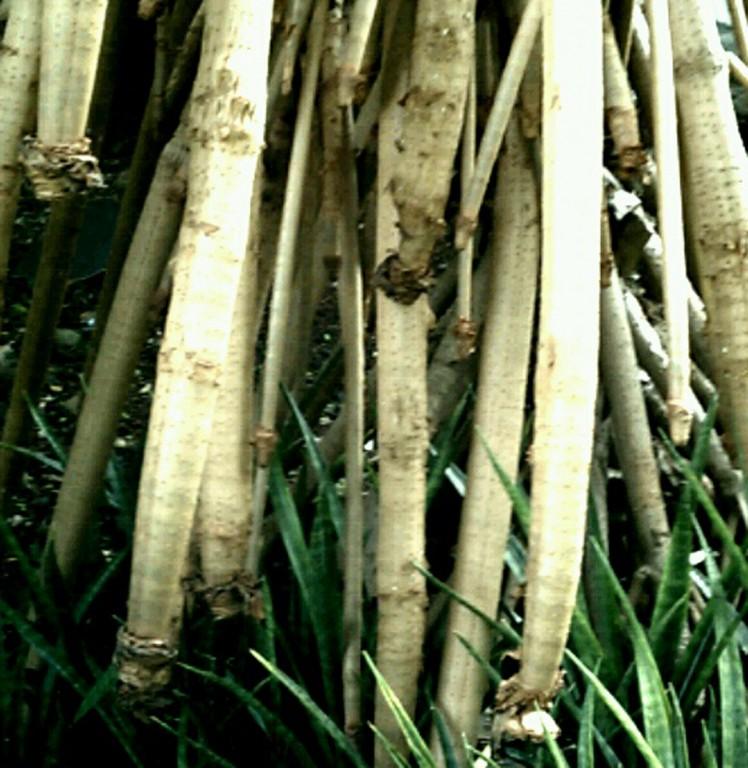 Lauhala Roots