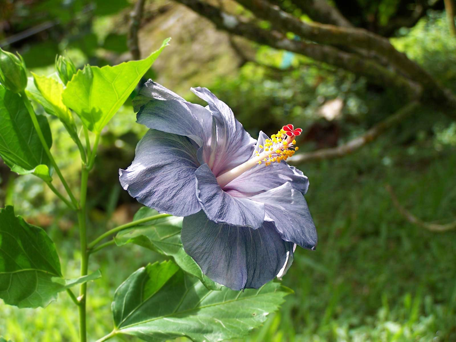 Image result for Hawaiian hibiscus