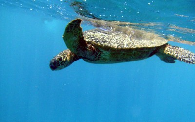 Hawaiian Green Sea Turtle Swimming