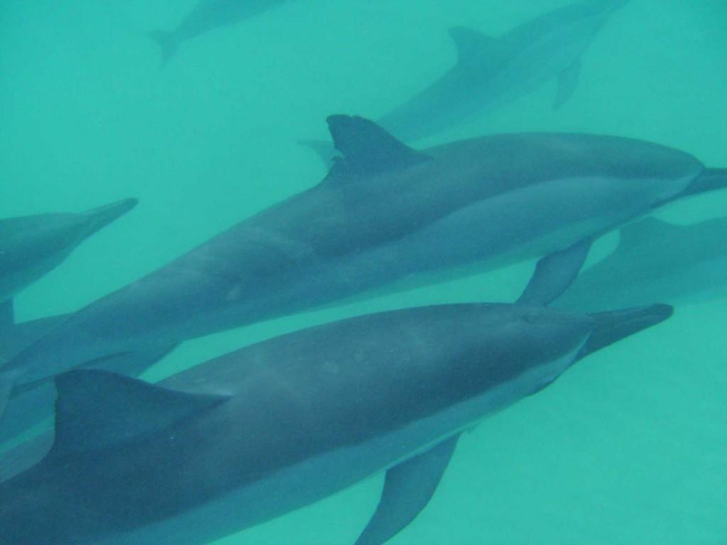 Spinner Dolphins, Kailua Bay