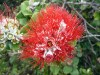 Mountain Lehua Flower