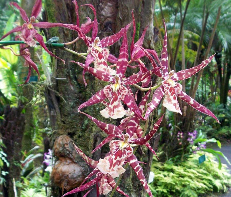 Spider Orchid in Hawaii