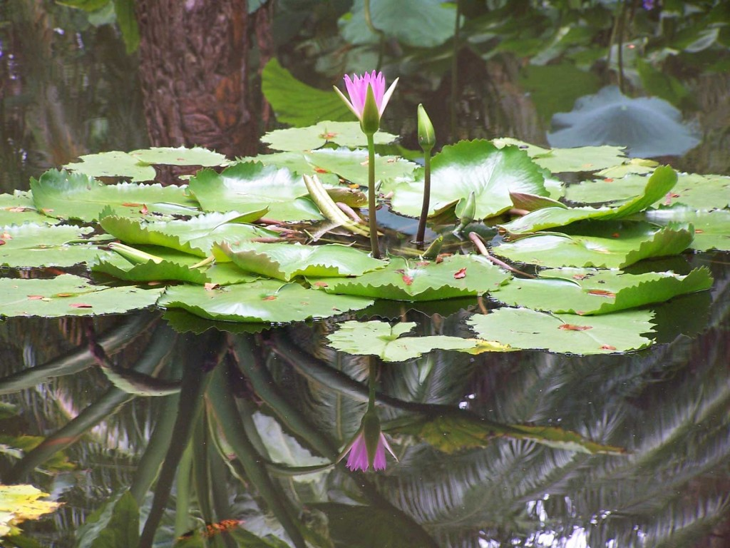 Hawaii Water Lily