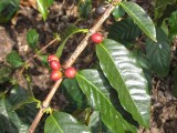 Kona Coffee Cherry