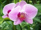 Hawaii Pink Orchid