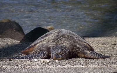 Sleepy Green Sea Turtle