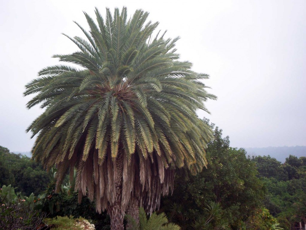 Dense Palm Tree