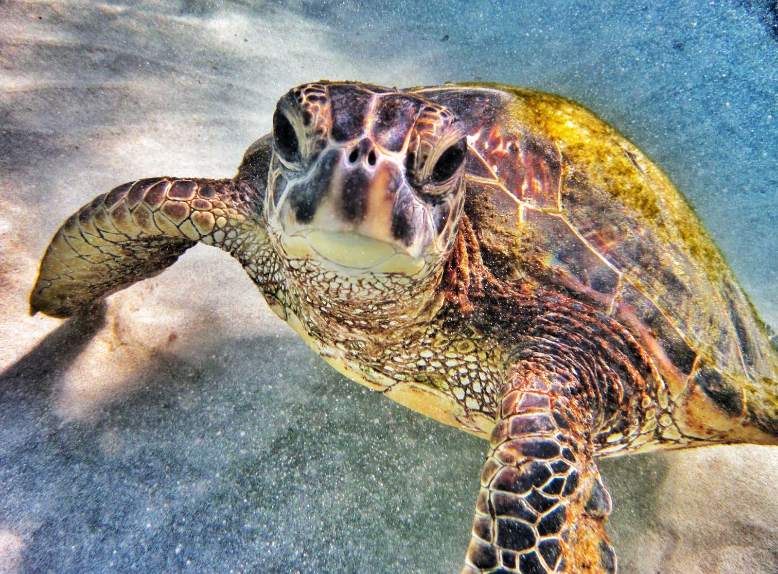 Related Keywords & Suggestions for hawaiian sea turtles