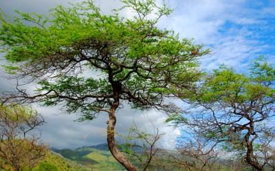 Keawe Tree in Paradise