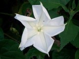 Ipomoea alba, Moonflower