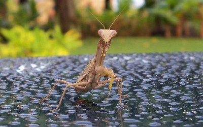 Hawaii Praying Mantis