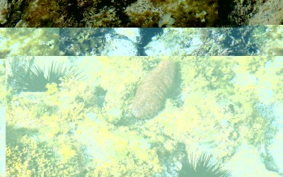 Lone Hawaii Sea Cucumber