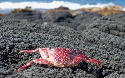 Sunburned Crab in Hawaii