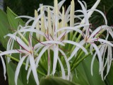 Hawaii Spider Lily