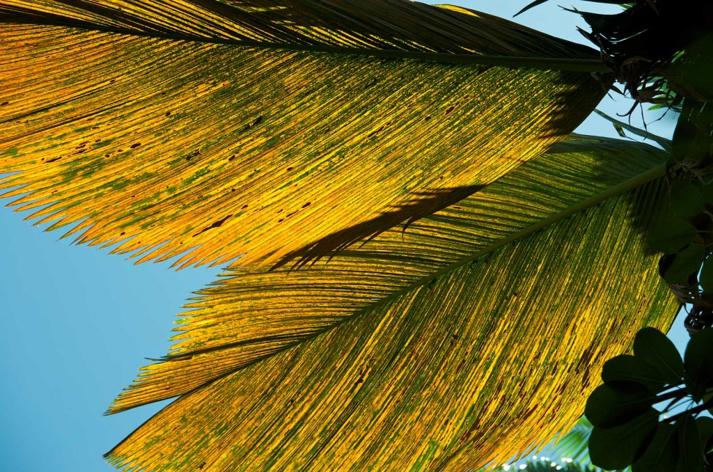 Backlit Palm Leaves