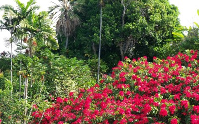 Hawaii Poinsettia Field