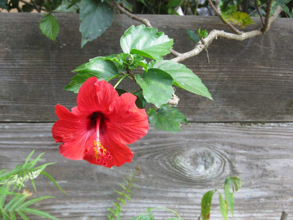 Hawaii red hibiscus hawaii pictures hawaii red hibiscus izmirmasajfo