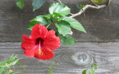 Hawaii Red Hibiscus