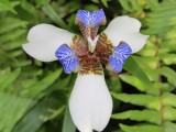 Blue White Orchid