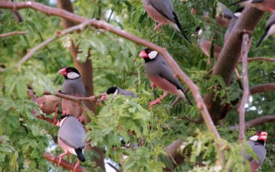 Java Sparrow in Hawaii