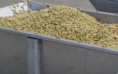 Unroasted Kona Coffee Beans