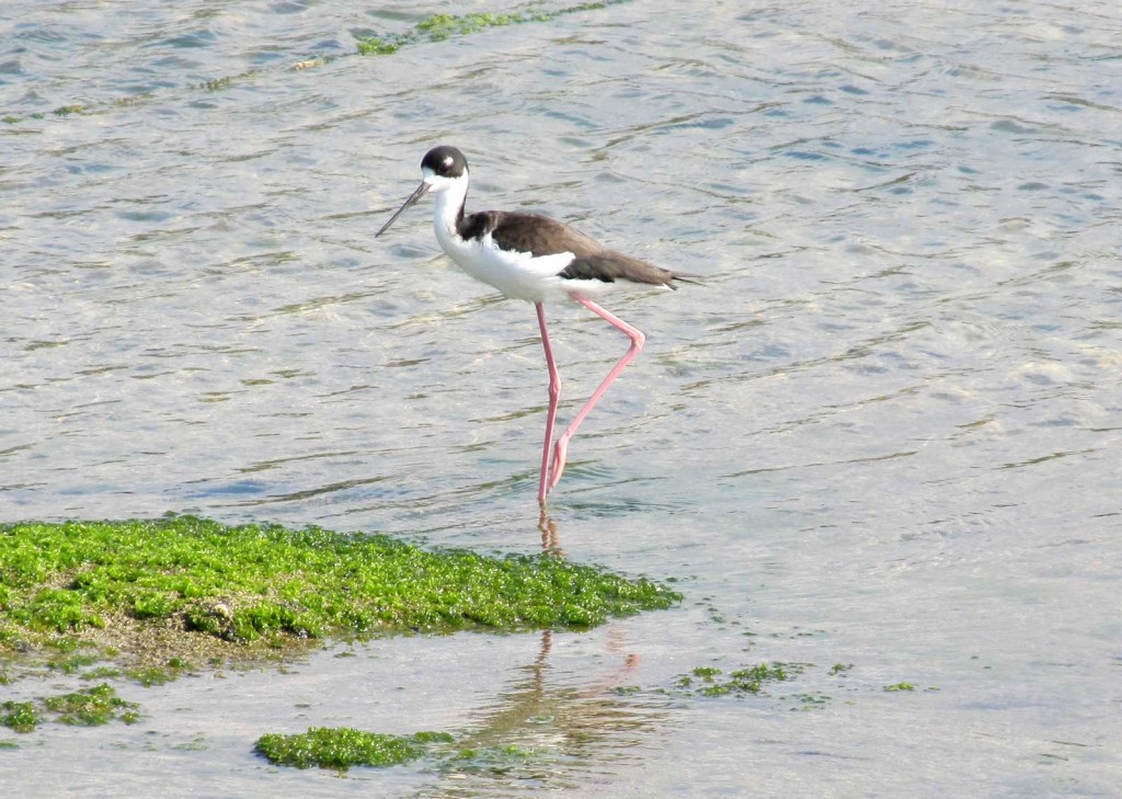 Hawaiian Stilt Bird