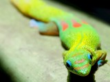 Orange Spot Day Gecko on Leaf