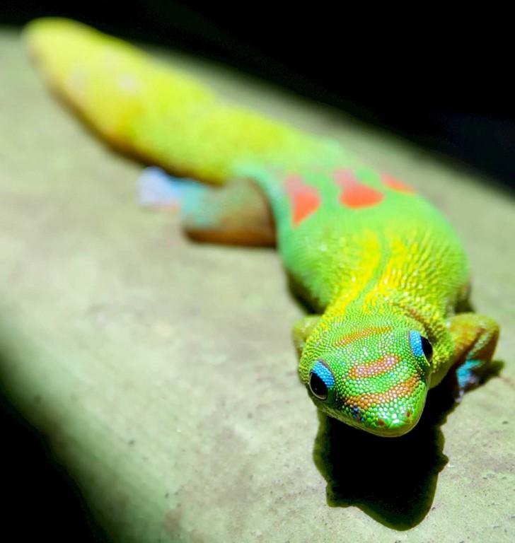 Orange Spot Day Gecko on Leaf