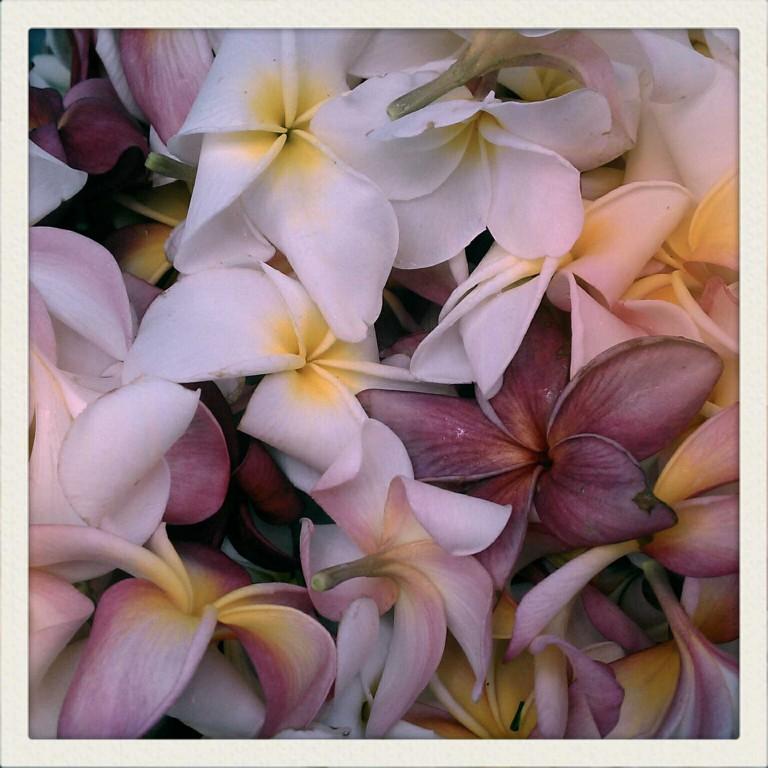 Pretty Plumerias