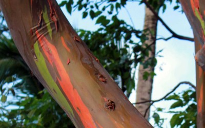 Hawaiian Rainbow Eucalyptus
