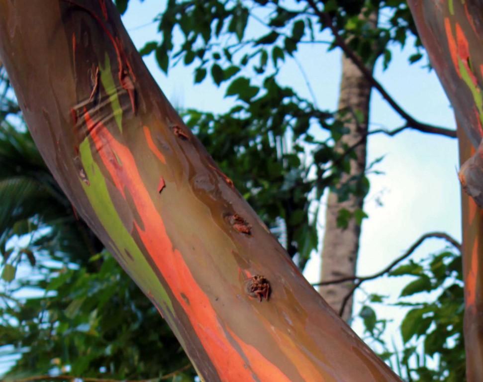 Hawaiian Rainbow Eucalyptus