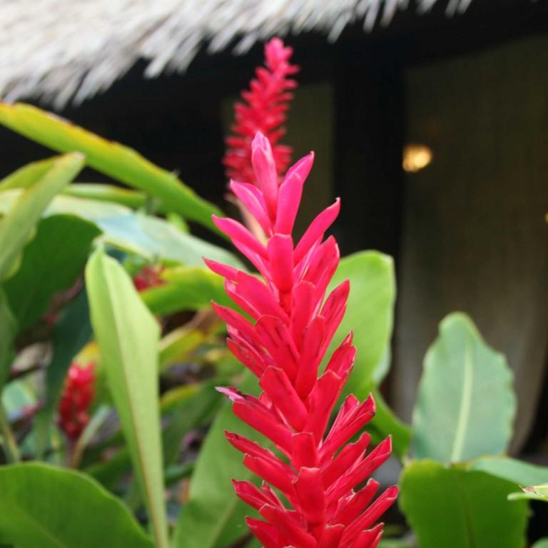 Red Ginger Blossom