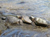 Hawaiian Green Sea Turtles Touching