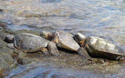Hawaiian Green Sea Turtles Touching
