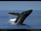 Hawaii Humpback Whale Breaching