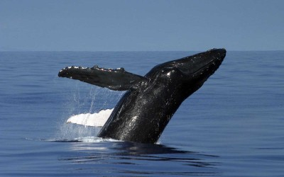 Hawaii Humpback Whale Breaching