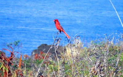 Hawaii Red Northern Cardinal